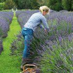 Lavender field, Waitaki Valley New Zealand