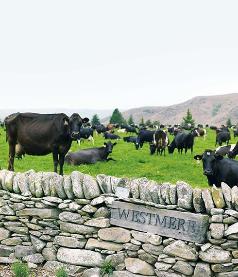 Westmere dairy farm