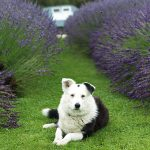 Dog and lavender