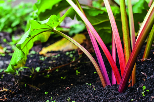 Growing rhubarb is easy.