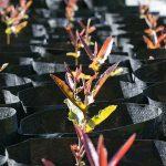 macadamia seedling