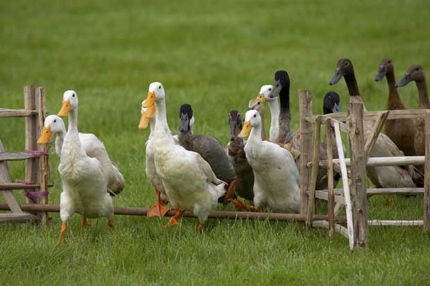 Jump the fence and get a paddling of ducks. Photo: Gynane | Dreamstime.com