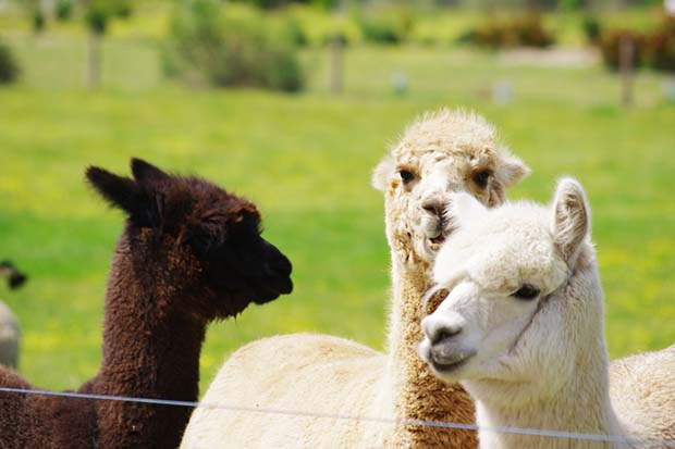 Alpaca meat is a low-fat alternative to beef. Photo: Chrispoliquin | Dreamstime.com
