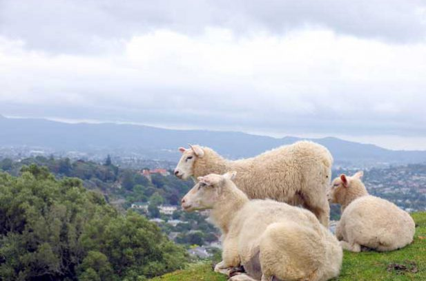 caring for sheep in winter