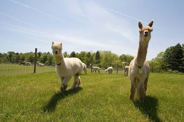 alpacca farming