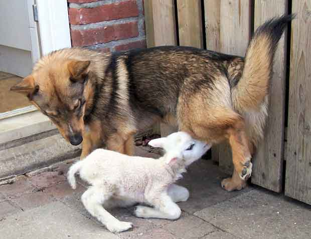 Swedish Vallhund and a lamb