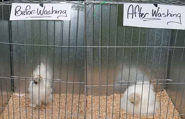 before and after chicken grooming