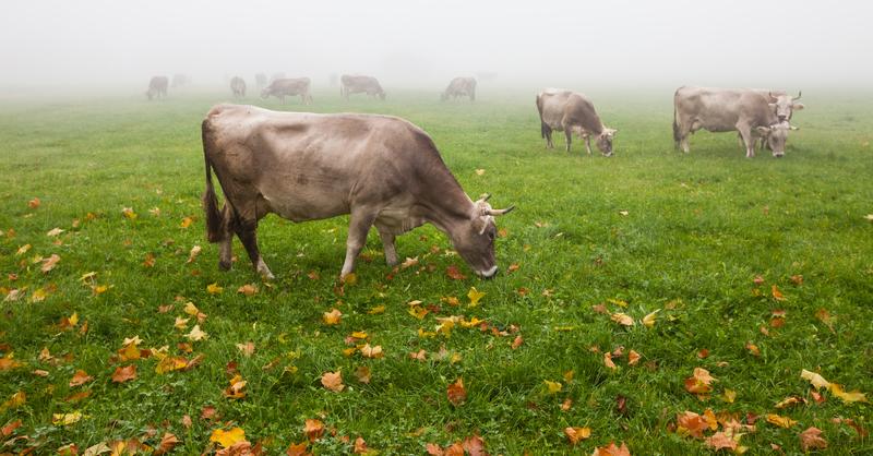 alpine cattle in fog