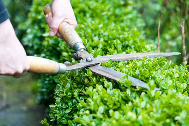 Hedge shears in action