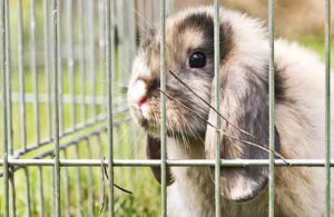 rabbit in mobile hutch to eat weeds