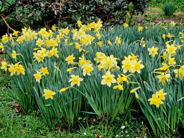 Daffodills growing in Jane's garden.