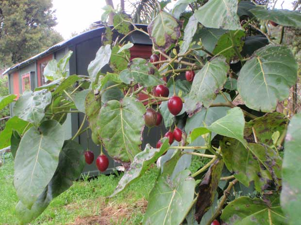 Tamarillos only fruit after they have grown 21 branches.