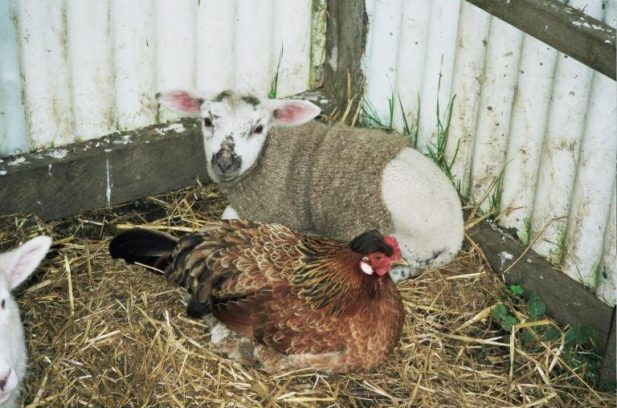 lamb and chicken