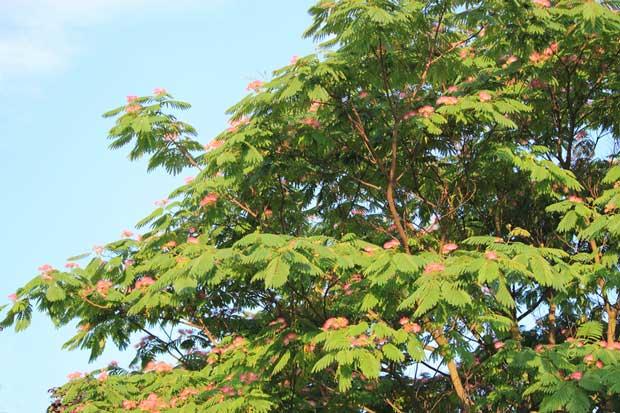 A red silk Albizia tree