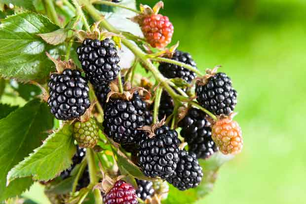 Prune back blackberry and boysenberry bushes now and reap the rewards in summer.