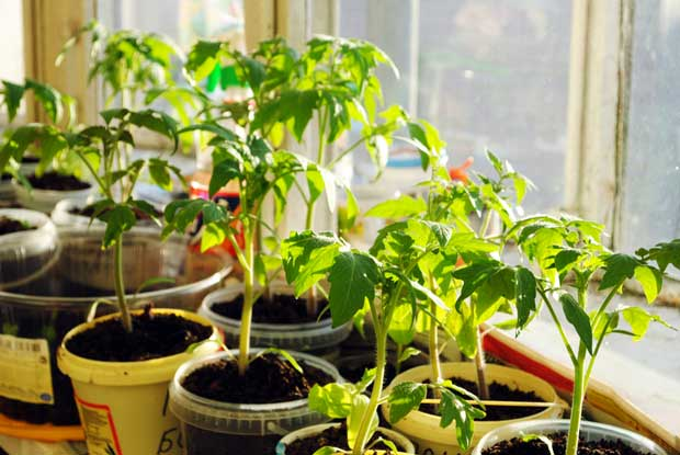 Start growing tomato seedlings on window sills in preparation for spring.