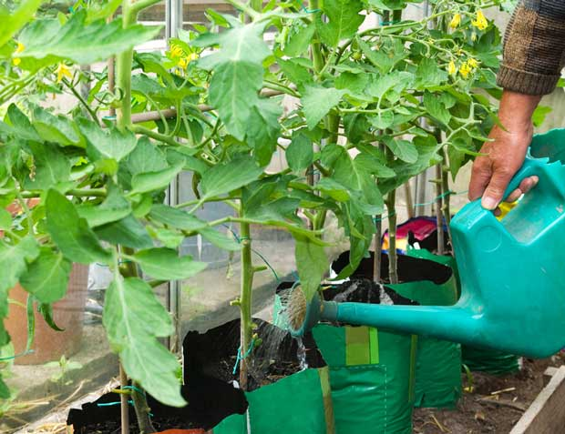 Short of space, consider growing tomato plants in the Florida Weave formation.