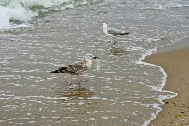 Seagull eating a plastic bag. Photo: Dreamstime.