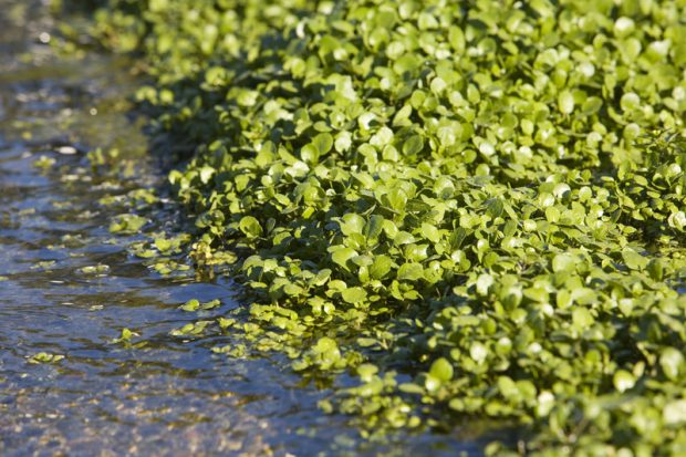 watercress and river