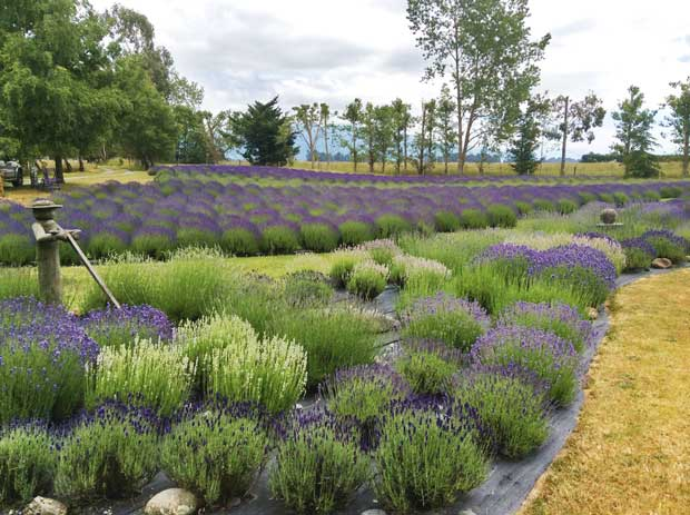 This Patented Pint Sized Lavender Plant Has Fans All Around