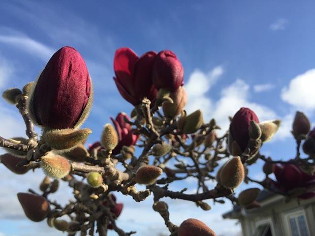 Nadene's magnolia 'Genie'