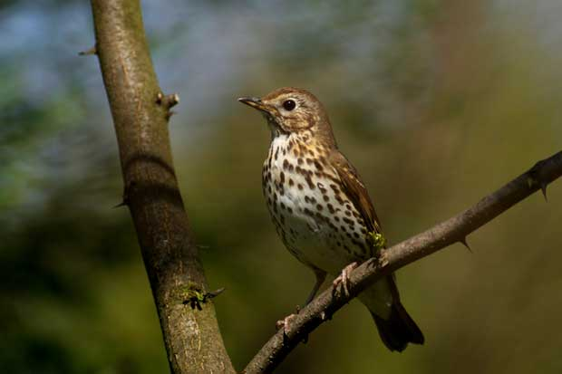 A thrush sitting in a tree.