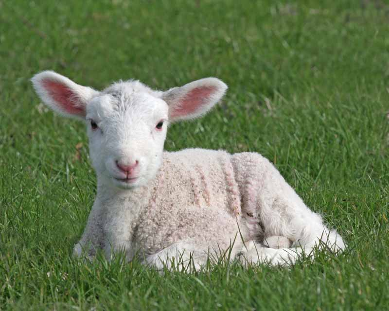 12 Things You Need To Know About Lambing Thisnzlife