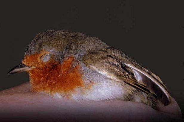 A baby robin. Photo: Dreamstime.