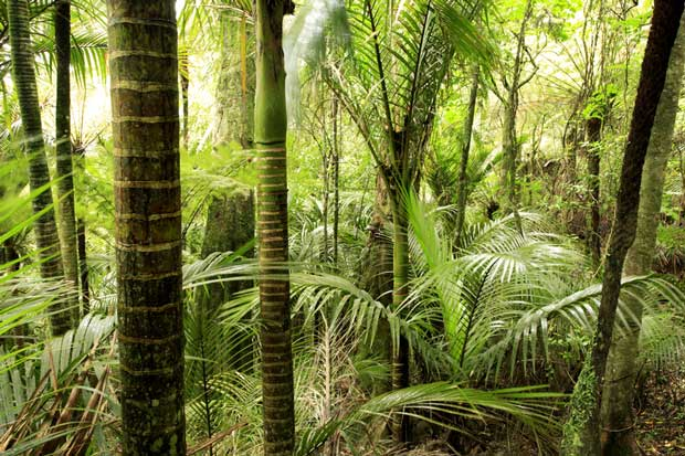 Native forest with nikau.