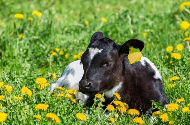 calf and dandelion