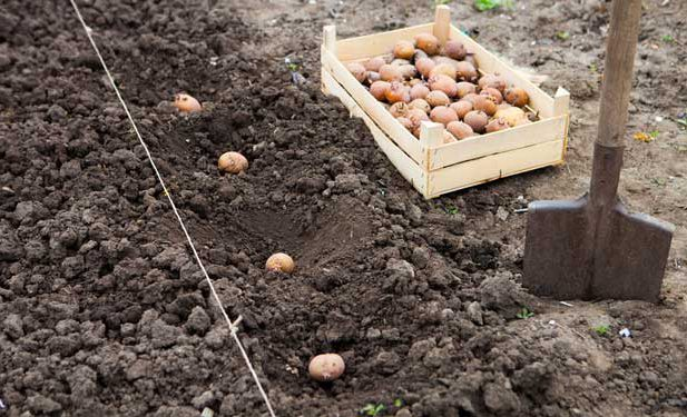 Planting seed potatoes.