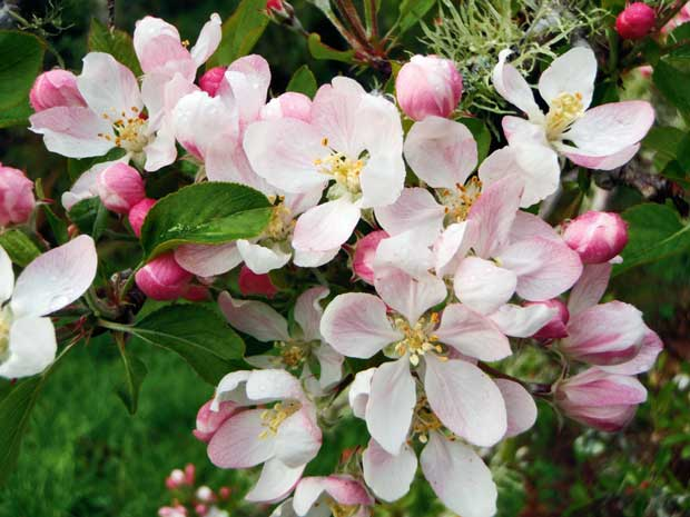 Apple Blossoms, a delicate haze in spring.