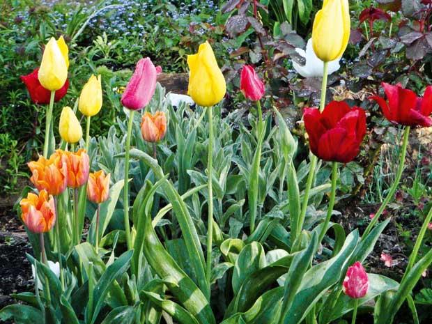 Tulips in the spring garden.