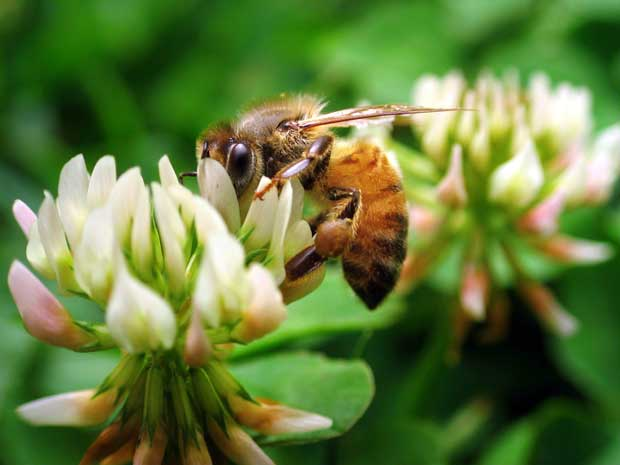 A bee foraging on clover.