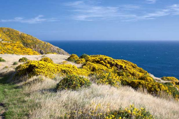 Gorse in New Zealand.
