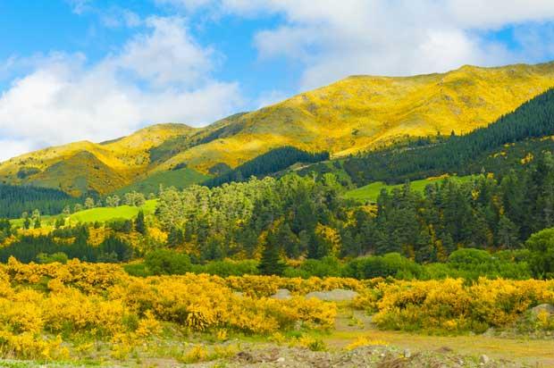gorse in New Zealand