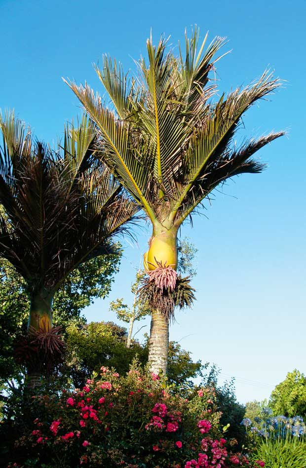 Nikau palm tree