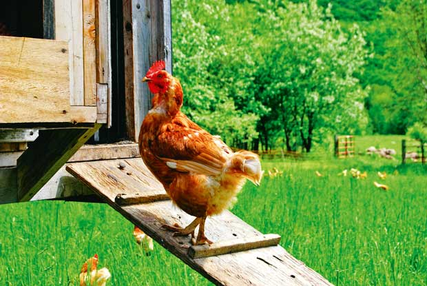 Summer parasite control for hens - thisNZlife