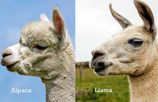 alpaca_vs_llama