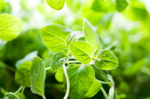 Oregano is known to reduce pathogens and work as an insect repellent.
