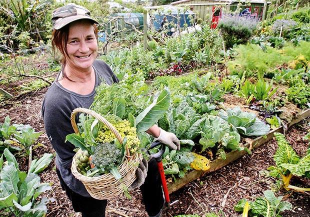Harvesting veges at Kelmarna Gardens.