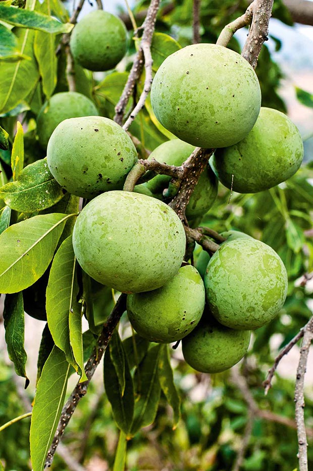 White sapote, a tropical fruit from Mexico that tasted like a mix of vanilla cream and custard.
