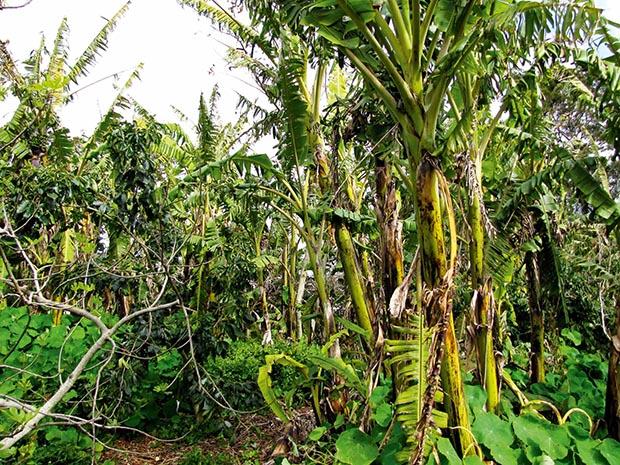 A banana jungle.
