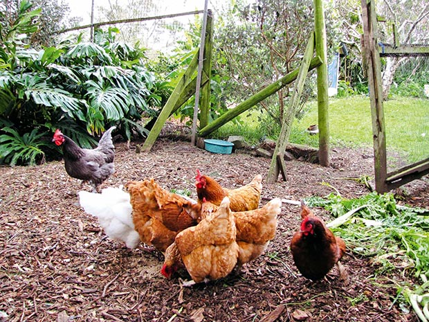 A large chicken run is part of the food forest.