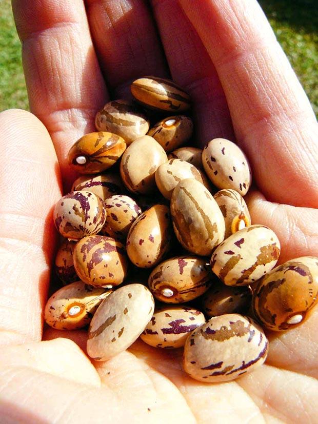 Lesley's bean seeds.