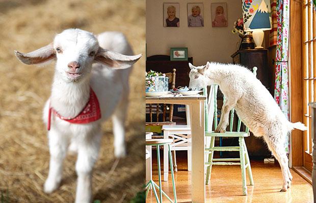 The Mischievous Goats Behind The Drunken Nanny S Award