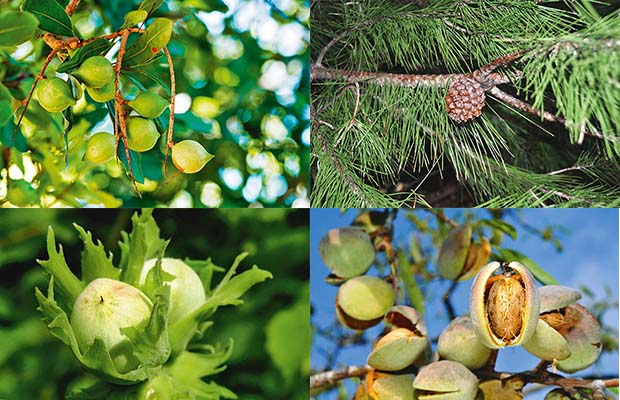 8 nut trees that are good to grow in New Zealand - thisNZlife