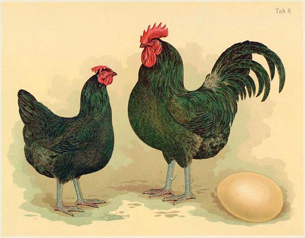 A guide to pedigree, purebred, heritage and hybrid chicken