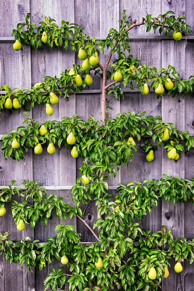 how to espalier fruit trees thisnzlife. Black Bedroom Furniture Sets. Home Design Ideas