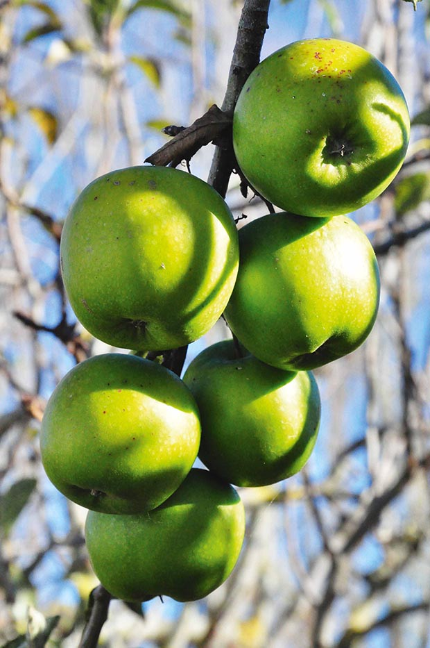 4 Steps To Pruning An Apple Tree